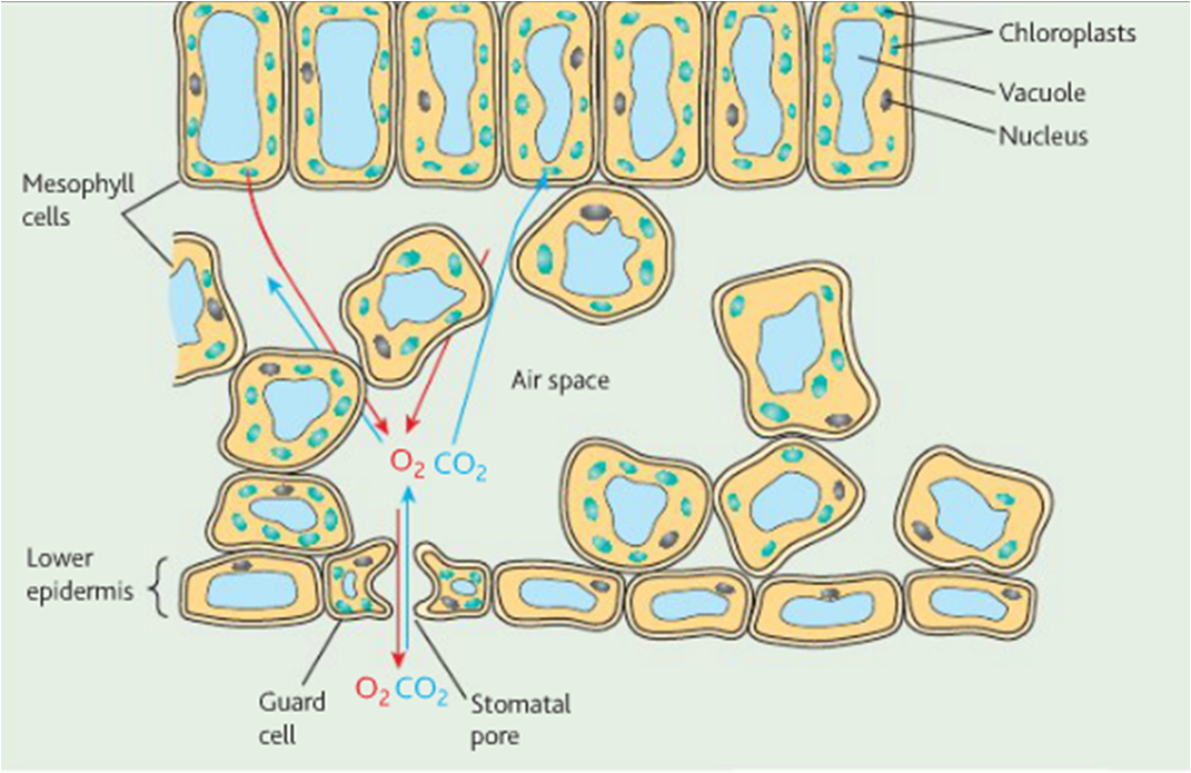 AS biology Ms Timms: images for gas exchange in plants
