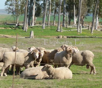 Sheep and Eucalyptus trees