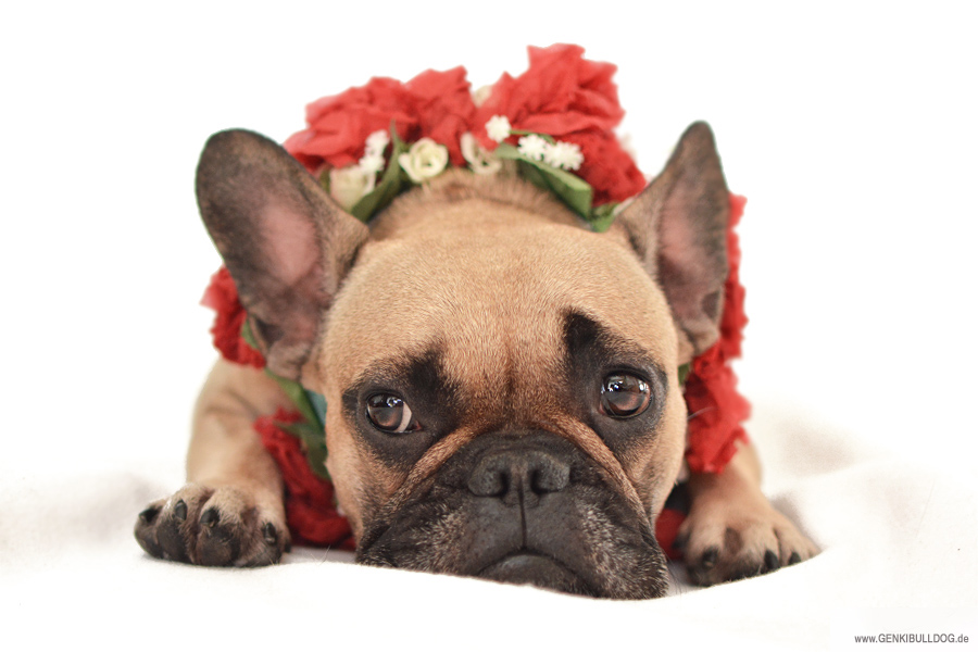 Hundeblog JuHundeblog Juckreiz Allergie beim Hund Cytopoint Apoquel Dermatologin Hundedermatologin Hauterkrankung Allergieckreiz Allergie beim Hund Erfahrung Risiken Vergleich Cytopoint Apoquel Dermatologin Hundedermatologin Hauterkrankung Allergie