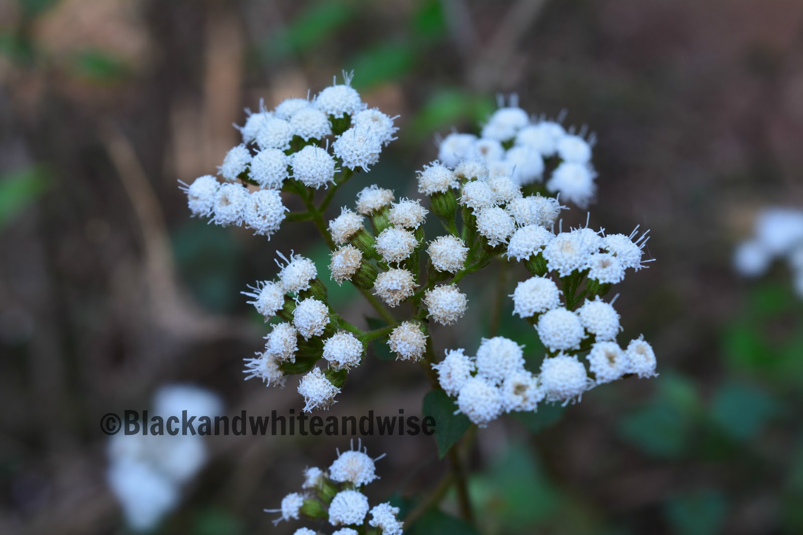 tiny white flowers