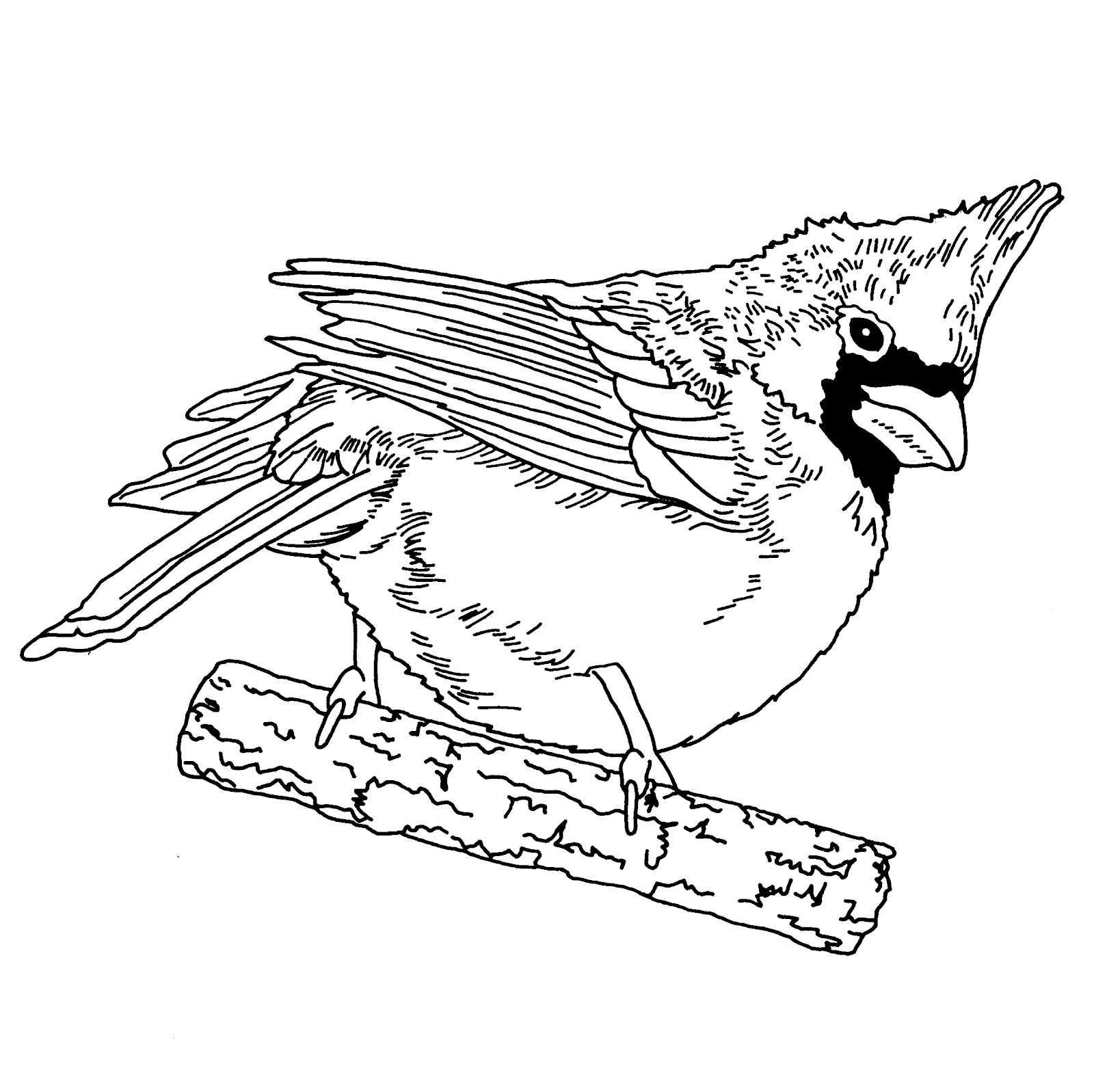 cardinls coloring pages | DZ Doodles Digital Stamps: Oodles of Doodles News! A ...