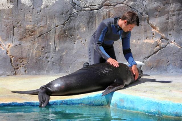 Masaje a un león marino
