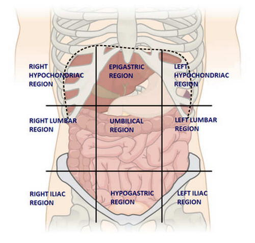 Liver Location - (Pictures, Pain - Anatomy) Where is your ...