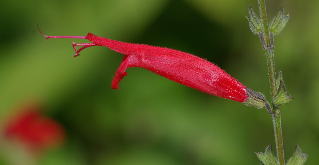 Salvia elegans - Pineapple Sage