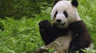 Panda Raksasa, Tiongkok