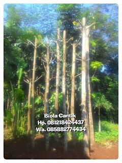 Harga jual pohon peneduh Ketapang biola cantik Batang besar harga murah