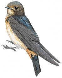 South African Swallow