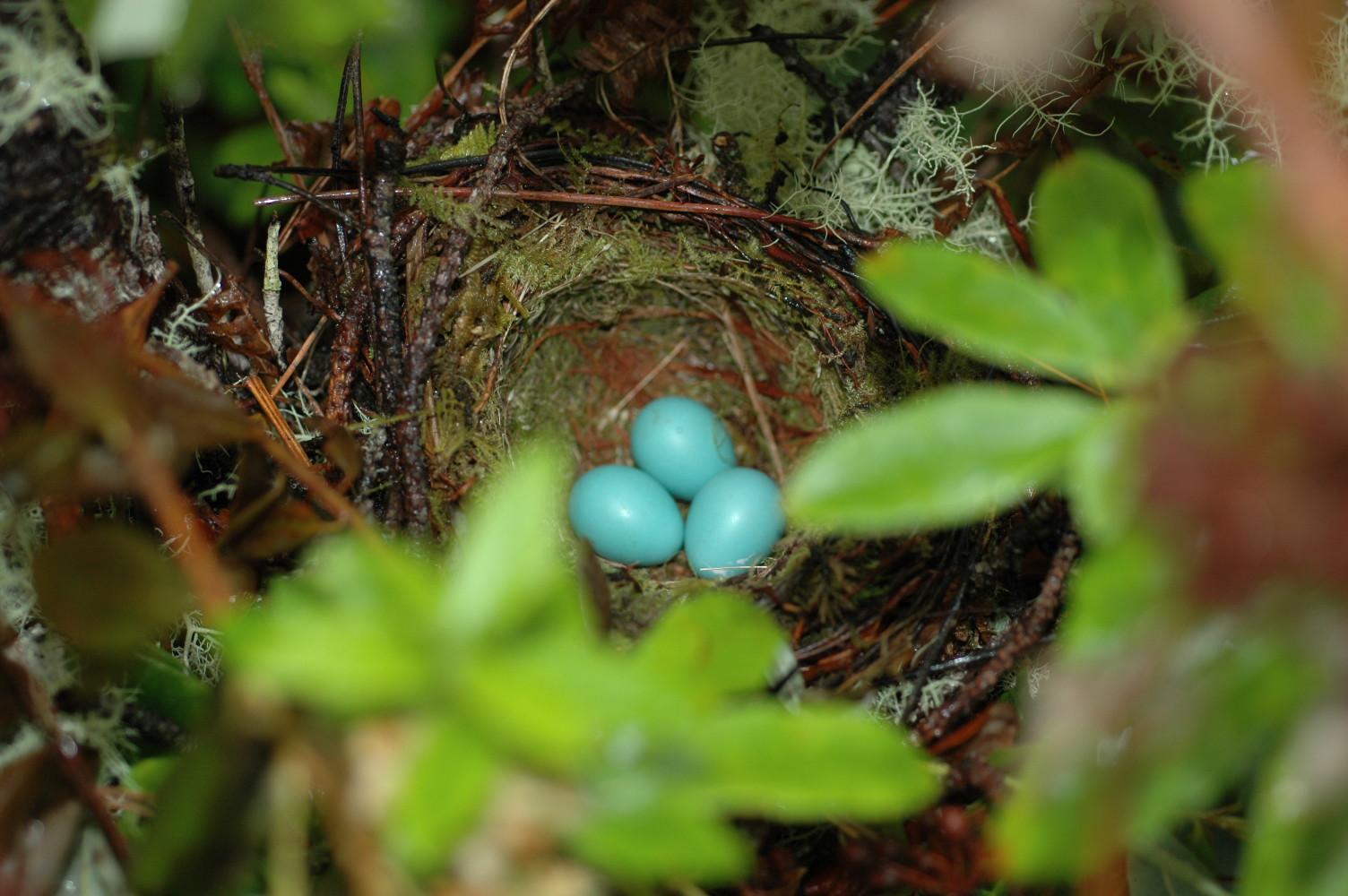 american goldfinch nest - photo #18