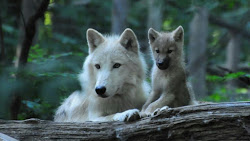 wolves baby wolf arctic pup loup pups alpha fluffy cute mother puppies animals female male grey babies animal animaux momma