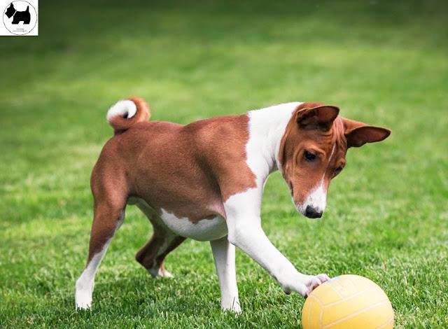 Cutest Dog Breeds, Best Dog, Basenji Dog puppies