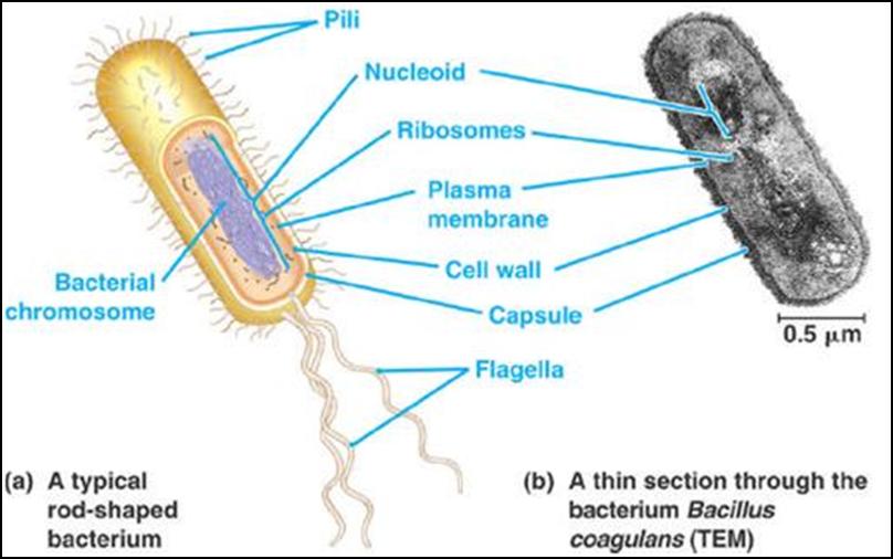 Btruktur sel prokariotik beserta bagian dan keterangannya