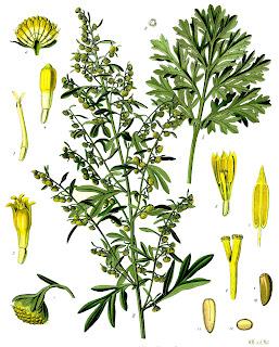ilustración científica de artemisia absinthium de köhler