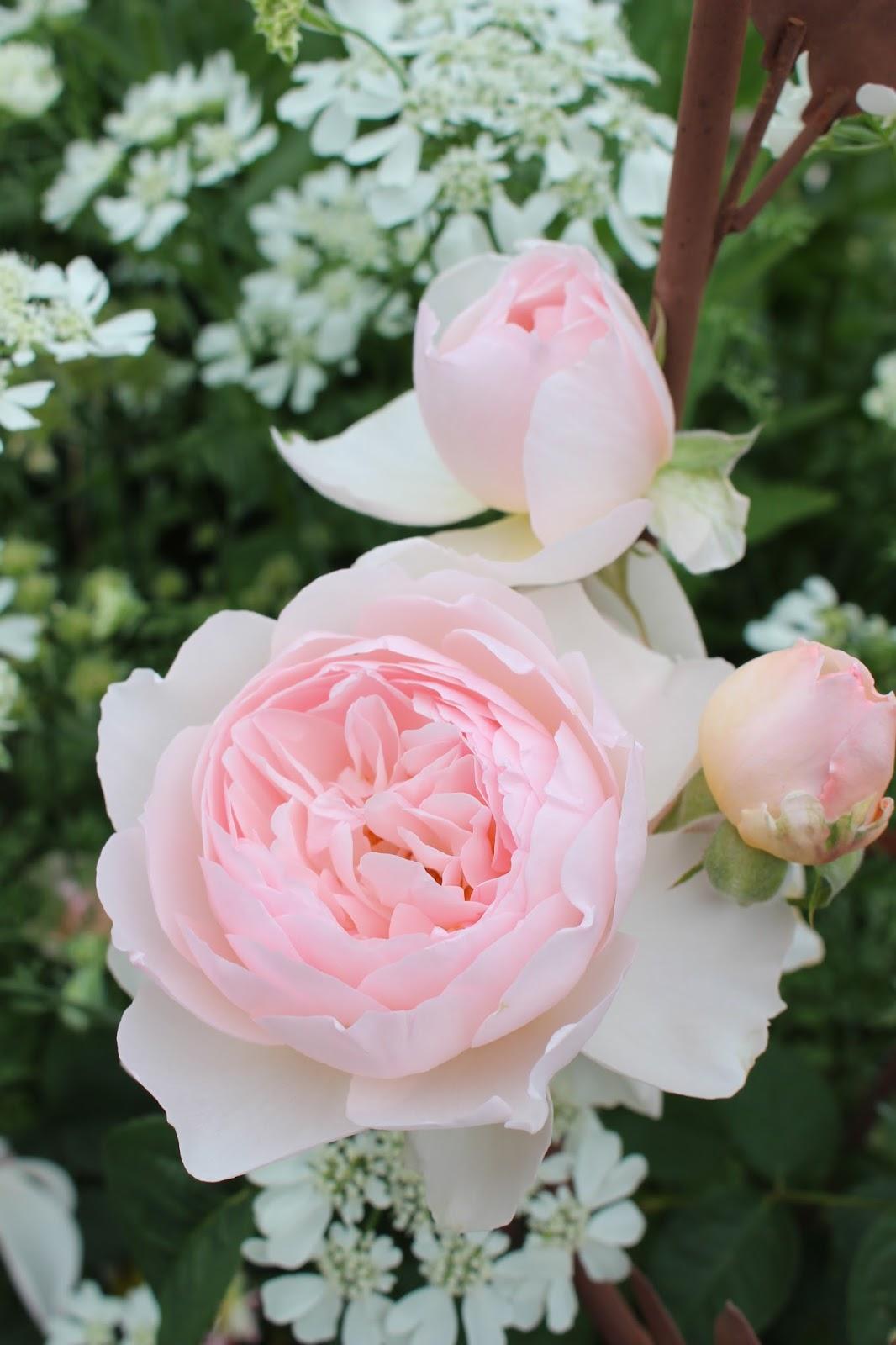 les roses du jardin secret gentle hermione david austin. Black Bedroom Furniture Sets. Home Design Ideas