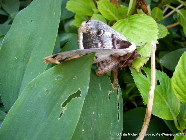 Papillon : Le Grand-Paon, Saturnia Pyri :