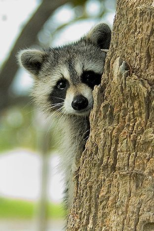 balotelli holly henderson: Cute Raccoon Raccoon Face