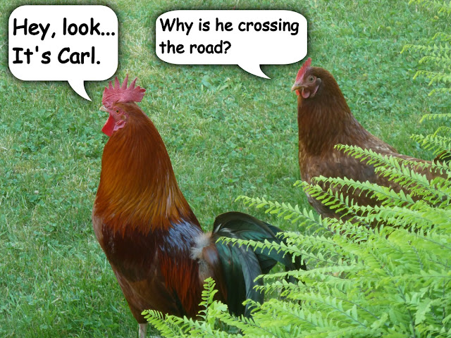 Chickens contemplate the situation...