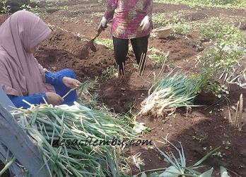Hama di Pertanian Organik