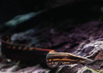 Makanan Fire Eel