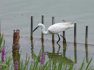 花博記念公園鶴見緑地 大池のシラサギ