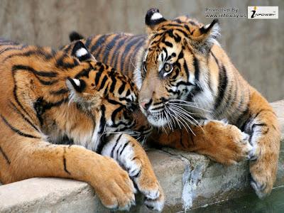 white tiger skin background - photo #39