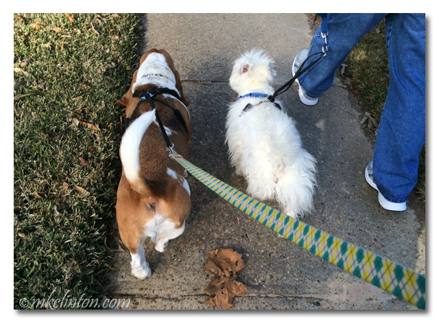 Basset hound and Westie walking on leashes