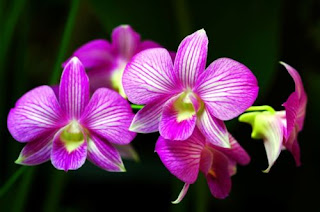 bunga anggrek surabaya