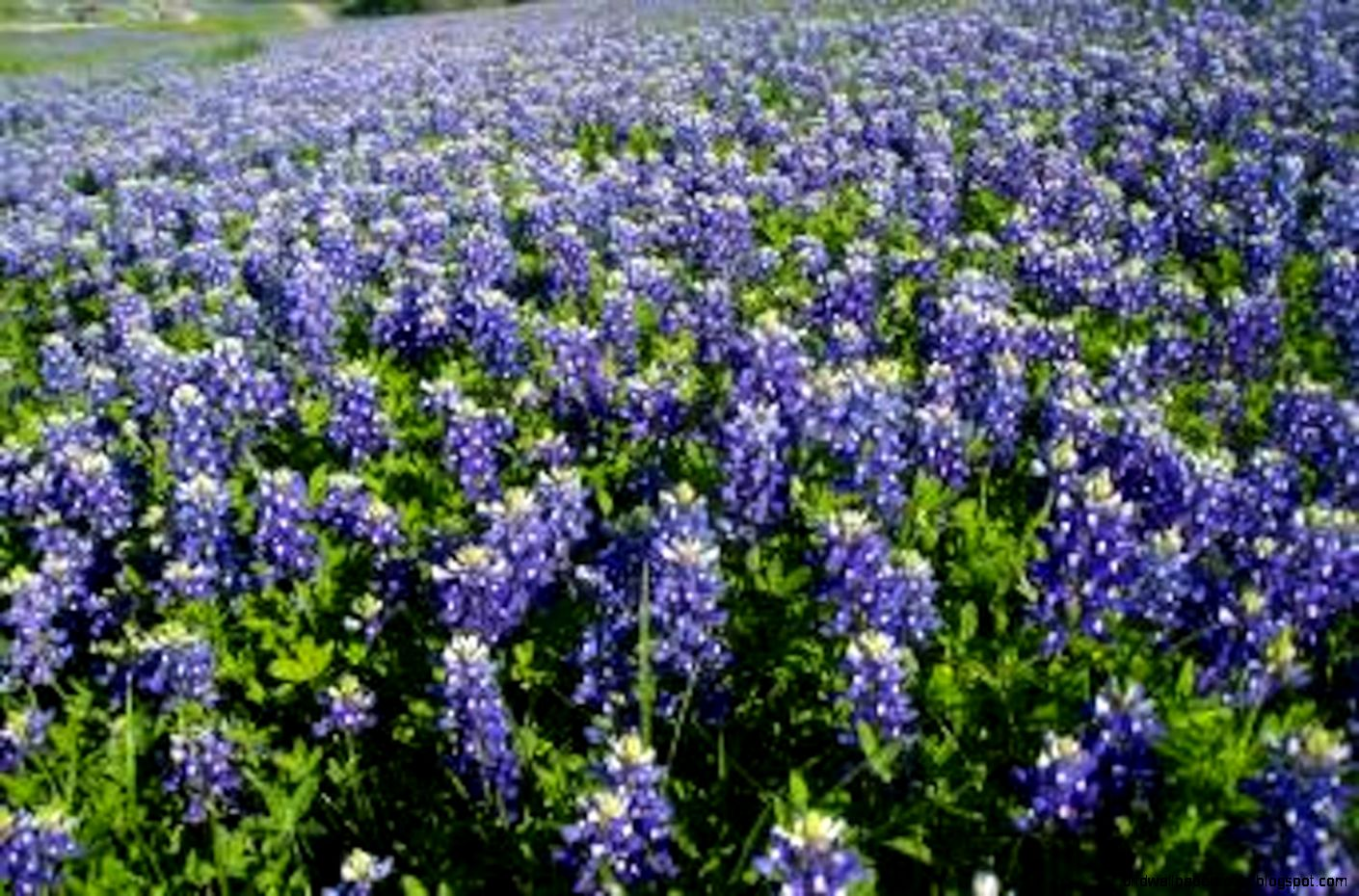 Texas State Flower Hd Wallpapers Plus