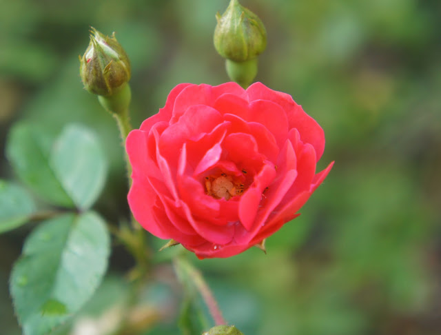 rose photography garden lover