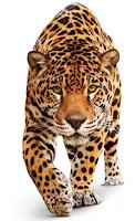 фото гепарда на белом фоне