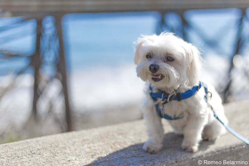 Charlie by the Pacific Ocean Pet-Friendly Vacations Tips for Traveling with Dogs
