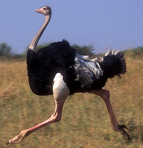 avestruz corriendo en la sabana africana