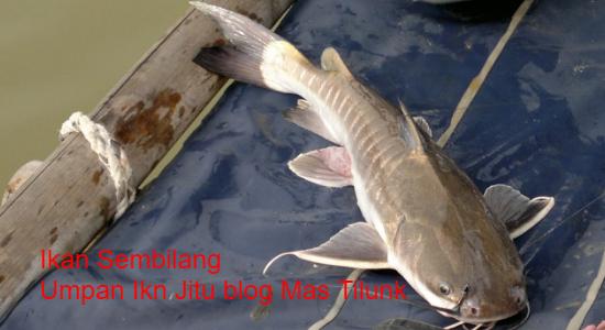 Download 47 Gambar Ikan Gampang HD Gratis