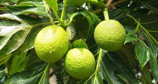 tipo de diabetes khasiat daun sukun untuk
