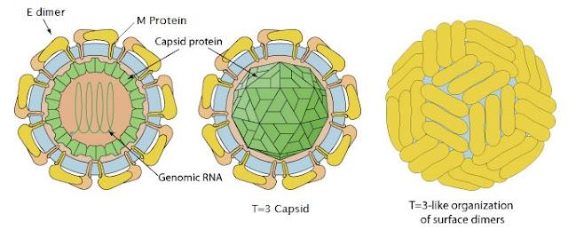 struktur 3 dimensi genus flavivirus