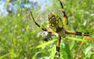 Geel zwarte spin in spinnenweb