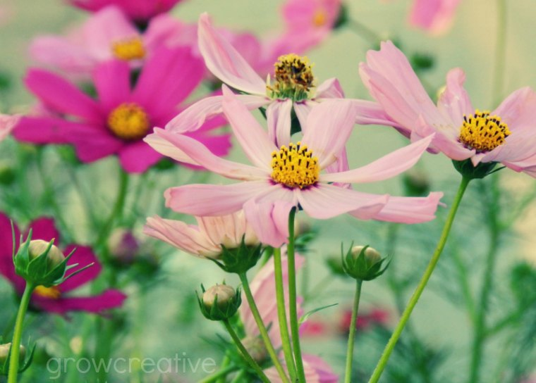 purple pink cosmos flowers