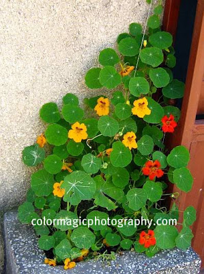Nasturtiums in container