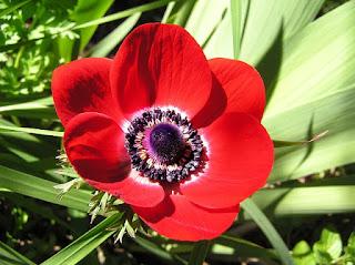 arti bunga anemone