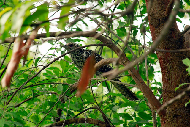 female Asian Koel