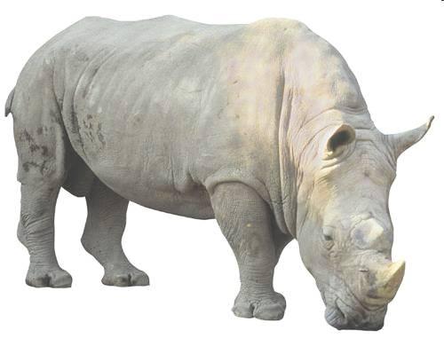 Badak Bercula Satu (Rhinoceros sondaicus)
