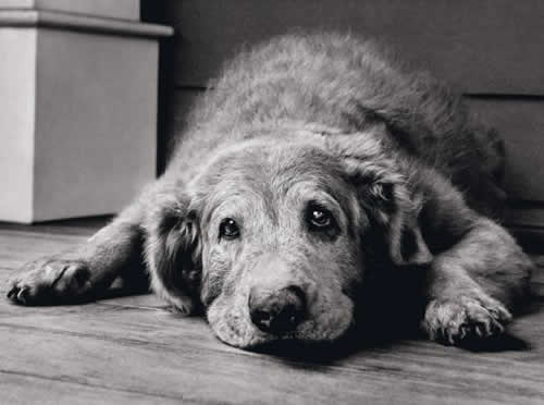 A idade no cachorro, assim como em nós, traz mudanças de aparência, de  comportamento e de saúde. Saiba como e quando ela começa e o que o amigo de  4 paras ... 8b20726d84
