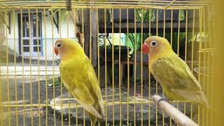 List harga burung Lovebird bulan april 2017