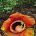 Kode Alam Bunga Bangkai Selasa 17 April 2018
