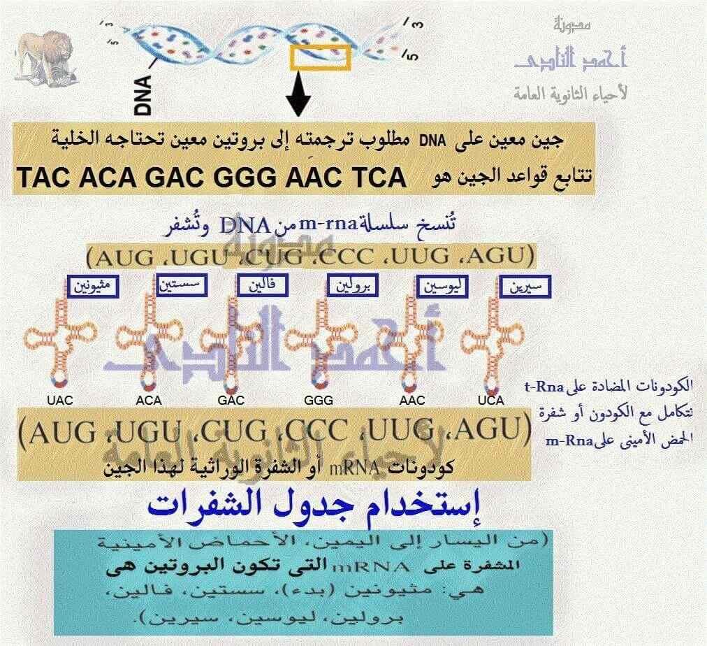 الحمض النووى الريبوزى الناقل - t.rna– مضاد الكودون - الثالث الثانوى