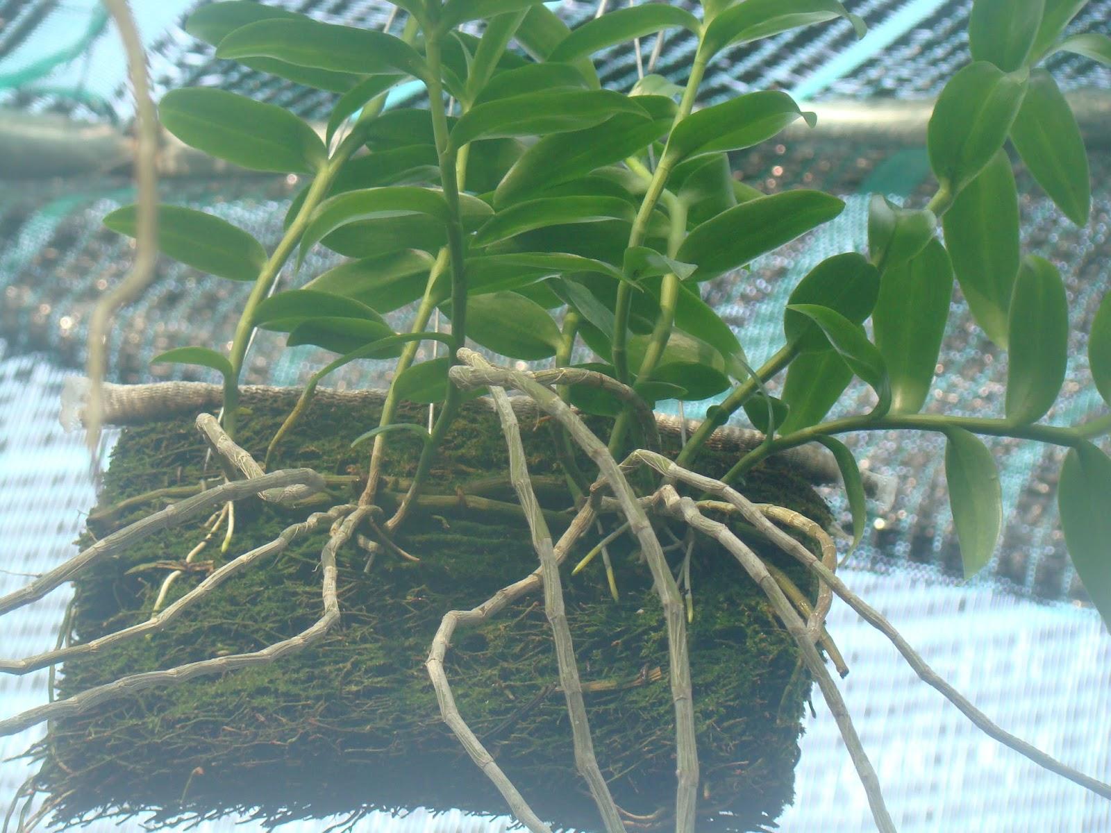 Hiện tại, tại vườn lan của gia đình tôi, tôi cũng đang áp dụng lưới che năng với tỷ lệ 40/ 60 để trồng Giả Hạc và Trầm Tím.
