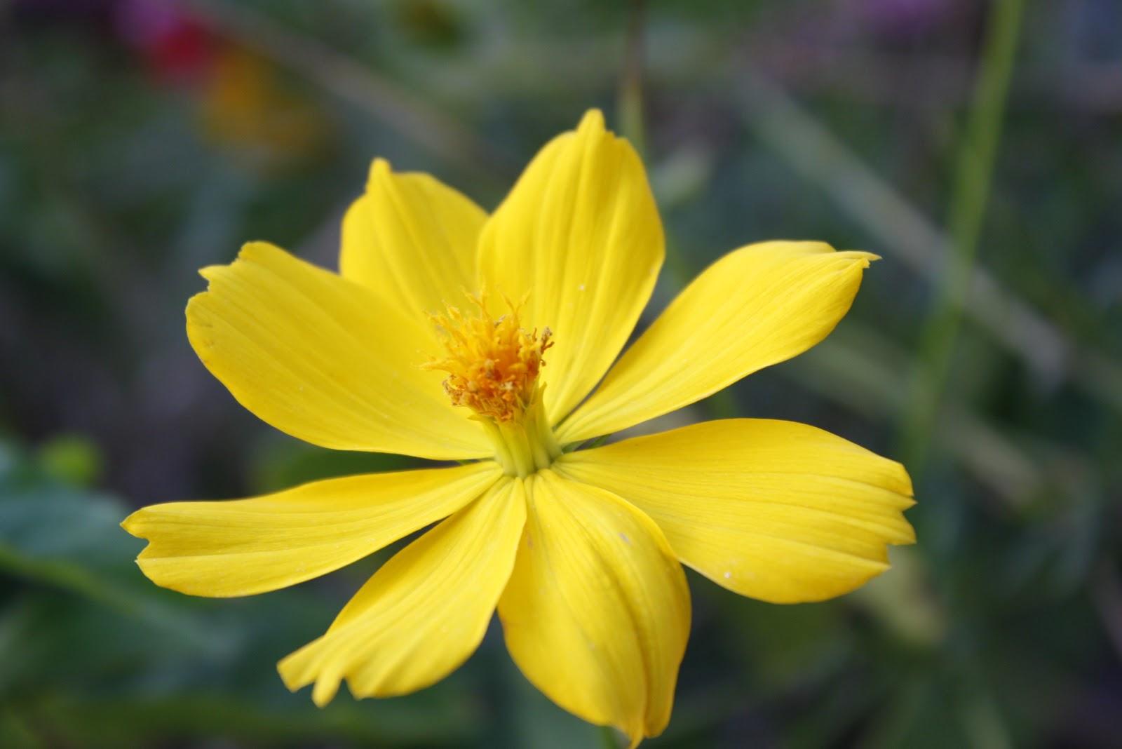 gambar dan nama latin tanaman hias hortikultura gambar