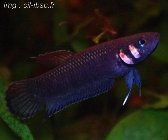 Jenis Ikan Cupang Spesies Betta Foerschi