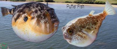 puffer fish, river puffer fish