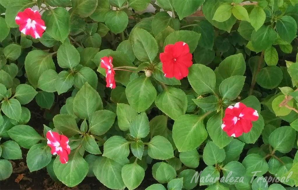 Variedad roja matizada de la flor Madama