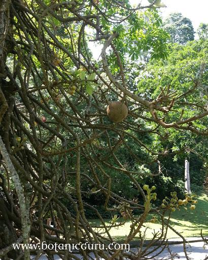 Couroupita guianensis, Cannonball Tree seed pod